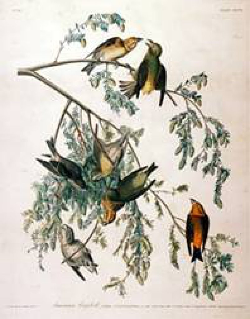 John James Drawings John James Audubon Fur And