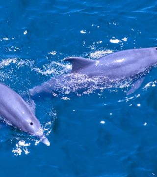 A pair of Bottle Nose Dolphins